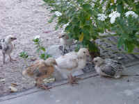 Chicks5.jpg (154471 bytes)
