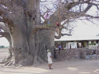 Boabab tree in Namibia