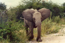 charging baby elephant at Etosha