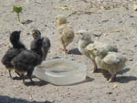 Dusty Chicks at the watering hole
