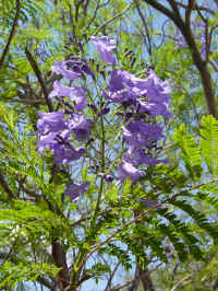 purplefltTree.jpg (73564 bytes)
