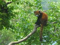 Red Panda at Dalian Forest Zoo
