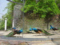 peacocks at Dalian Zoo