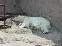 polar bear at Dalian Zoo