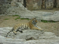 tiger at Dalian Zoo